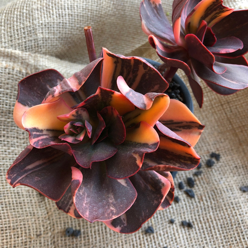 PRESALE Echeveria Pre Madonna, (Not So Random)