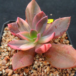 PRESALE Echeveria Hanaikada, Variegata (Not So Random)