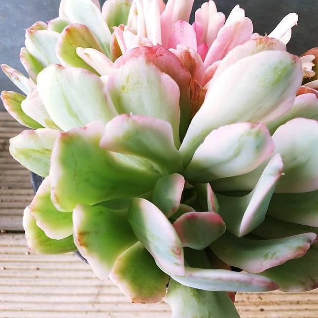 PRESALE Echeveria Holwayi, (Not So Random)