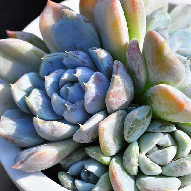 SPECIAL!! JUST CART!! Echeveria Snow Bunny, Cluster, (Not so Random)