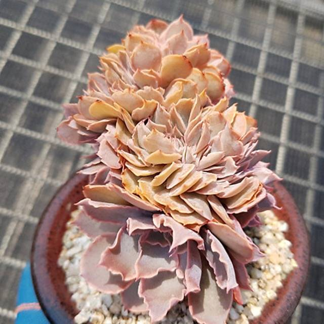 PRESALE Echeveria Florentine, Cristata, (Not So Random)