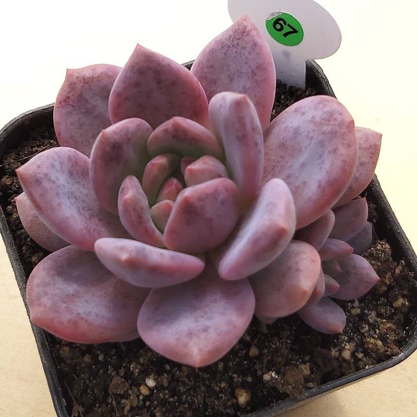 (RESERVED FOR HUNTERGAMBLE), PRESALE Echeveria Ariel