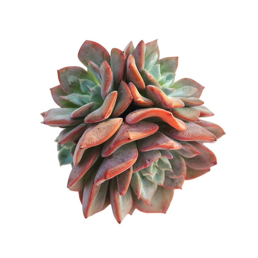 Echeveria Fortuna, Four Heads (and pupping!)