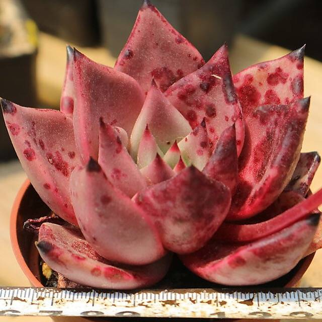 PRESALE Echeveria Agavoides Ebony Sp., (Not So Random)