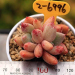 (RESERVED FOR Alice Caines) PRESALE Echeveria Spica, Double