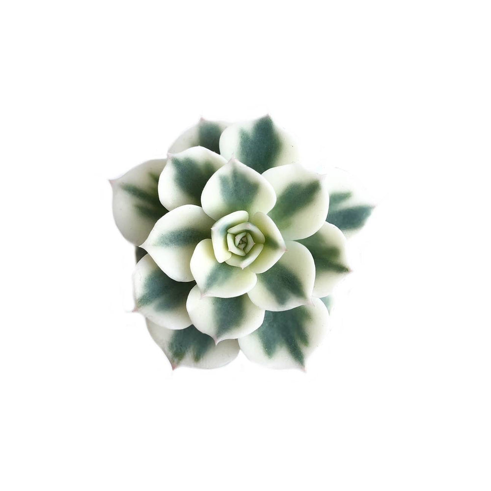 The GOOD, The BAD and The UGLY SALE! Echeveria Lenore Dean