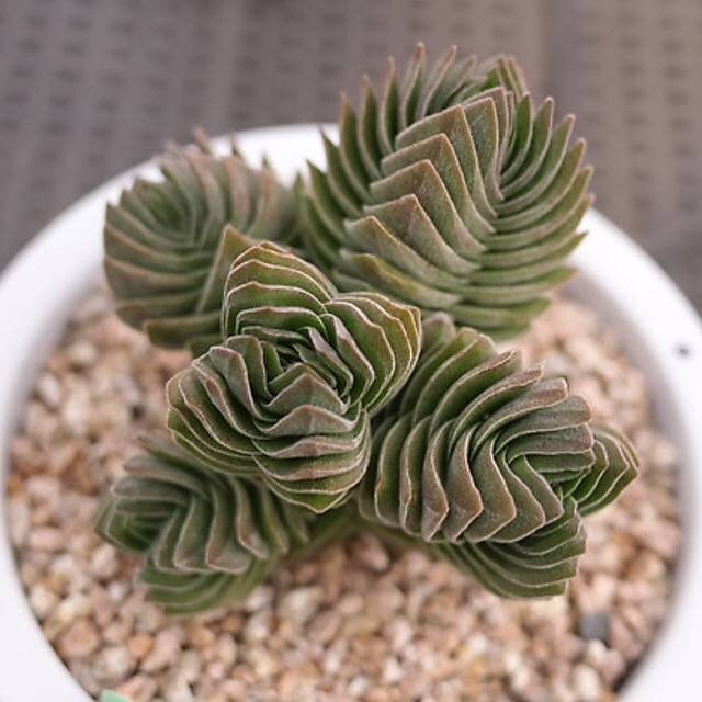 BLACK FRIDAY SNEAK, Crassula Buddha's Temple, (Not so Random)