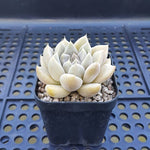 FLASH SALE! PRESALE Echeveria Tolimanesis, (Random)