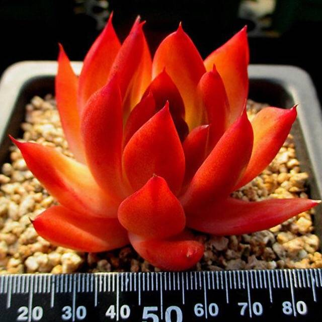 Echeveria Agavoides 'Grimmies,' (Not so Random)