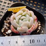PRESALE Echeveria Japanese Raspberry Ice, (Not So Random)
