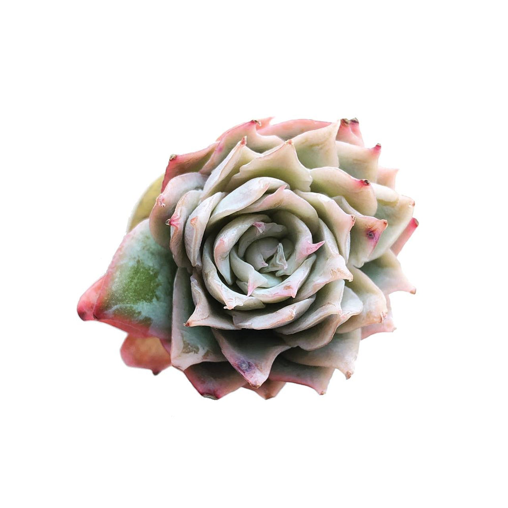SPECIAL!! JUST CART!! Graptoveria Rose Queen