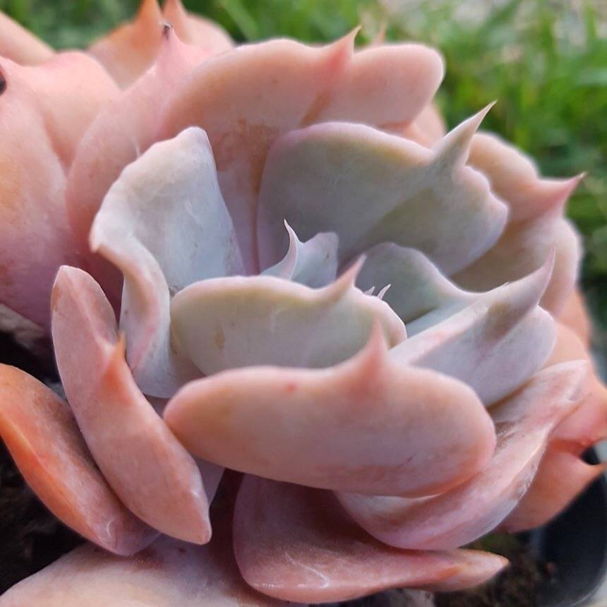 PRESALE Echeveria Lilacina, Variegata, (Not So Random)
