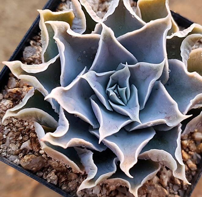 PRESALE Echeveria Hurricane, (Not So Random)