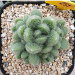 (RESERVED FOR LINCE), PRESALE Sedum Hintonii