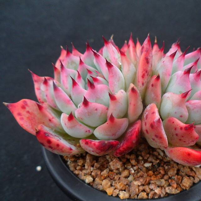 PRESALE Echeveria Pavly, (Not So Random)