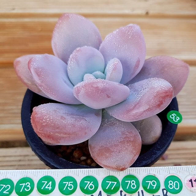 PRESALE Echeveria Raon, (Not So Random)