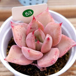 SALE! Echeveria Agavoides 'Beauty Lily,' (Not so Random)