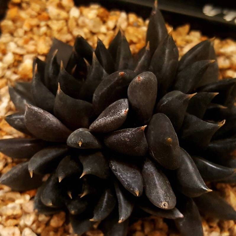 PRESALE Echeveria Black Knight, Triple, (Random)