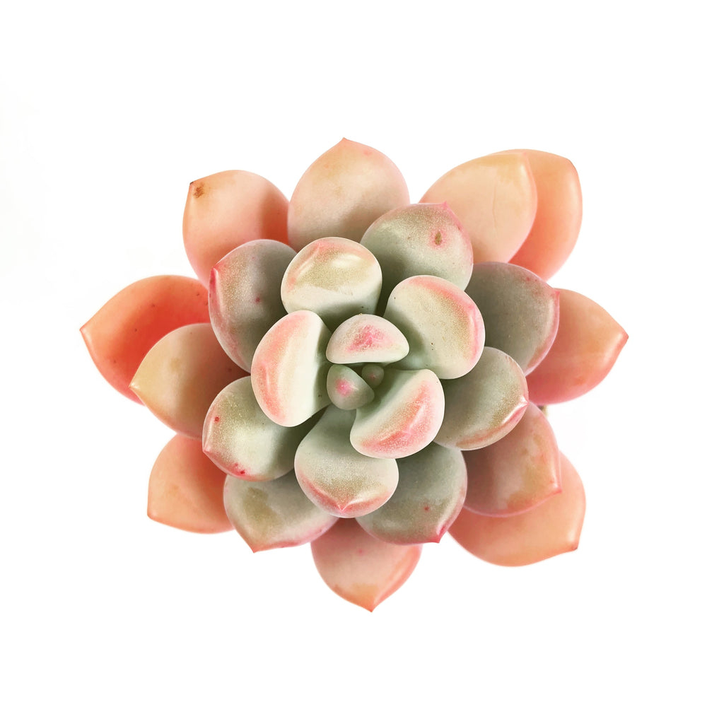 Echeveria Japan Rusby