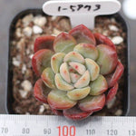 PRESALE Echeveria Unknown