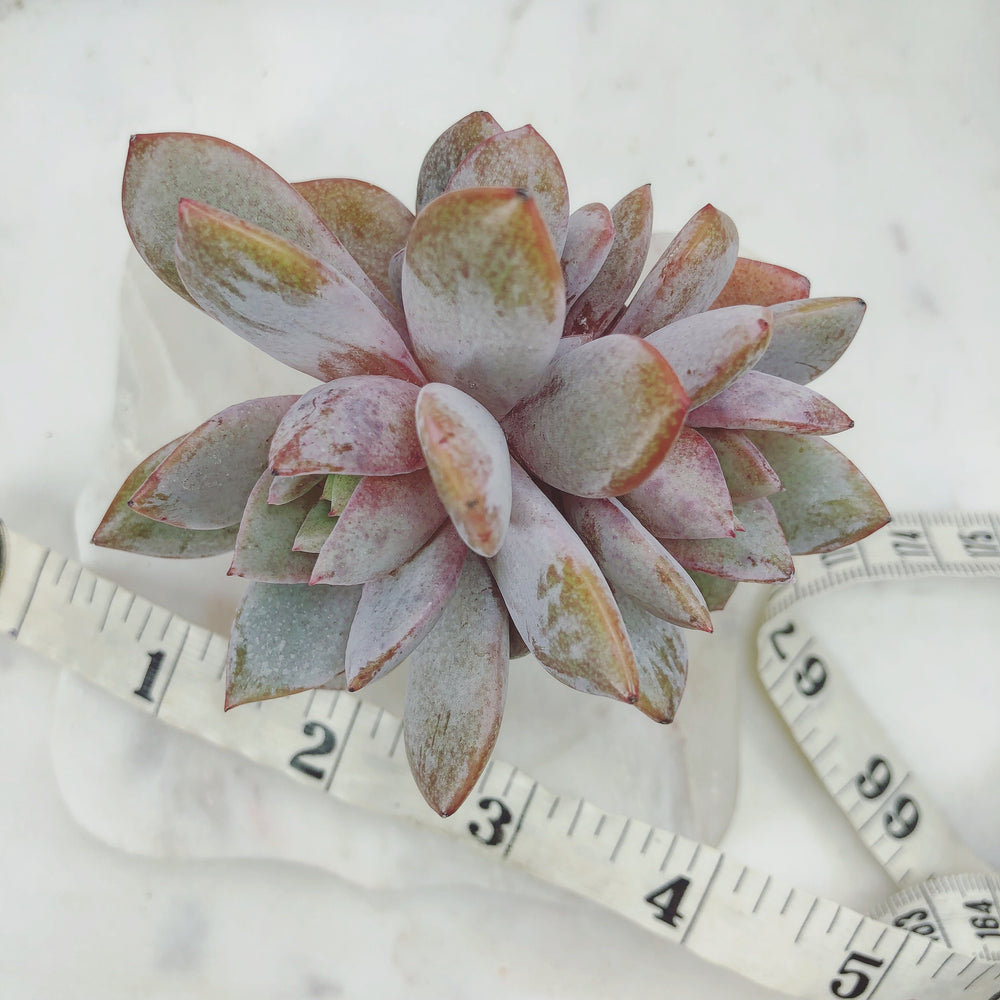 Echeveria Cream Champagne, Germany (Double)