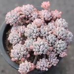 PRESALE Graptopetalum Blue Beans