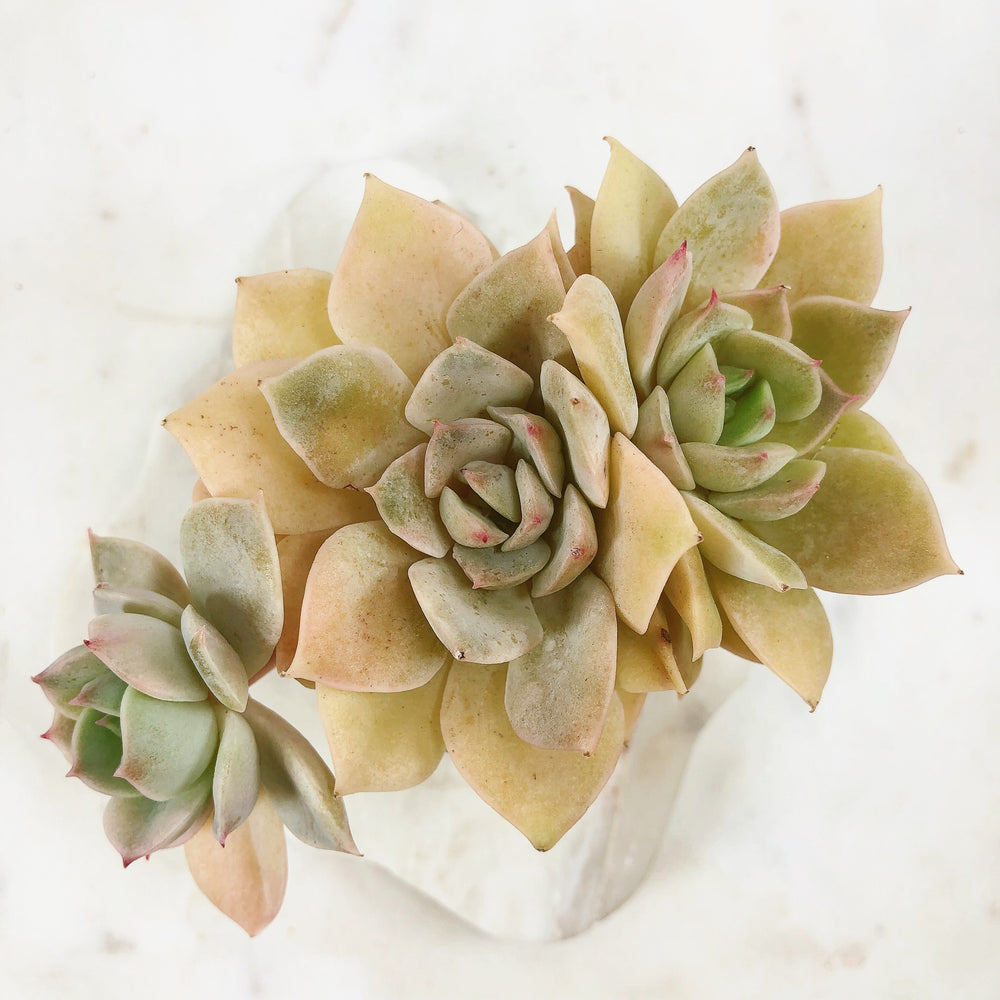 Echeveria Fun Queen, Variegata (Triple)