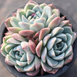 PRESALE Echeveria Alba Beauty (Cluster)