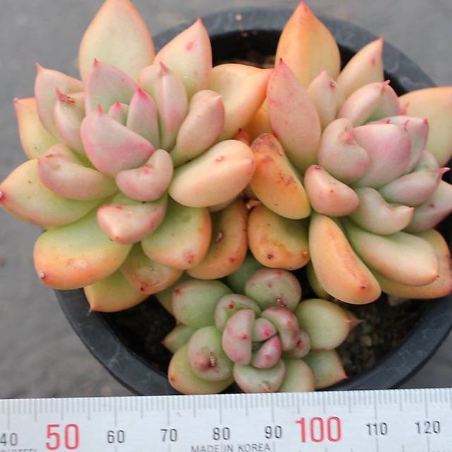 PRESALE Echeveria Agavoides 'Avocado Cream'