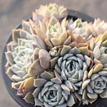 Presale Echeveria Mary Belle (Cluster)
