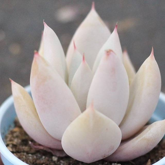 PRESALE Echeveria Mexican Giant Hybrid