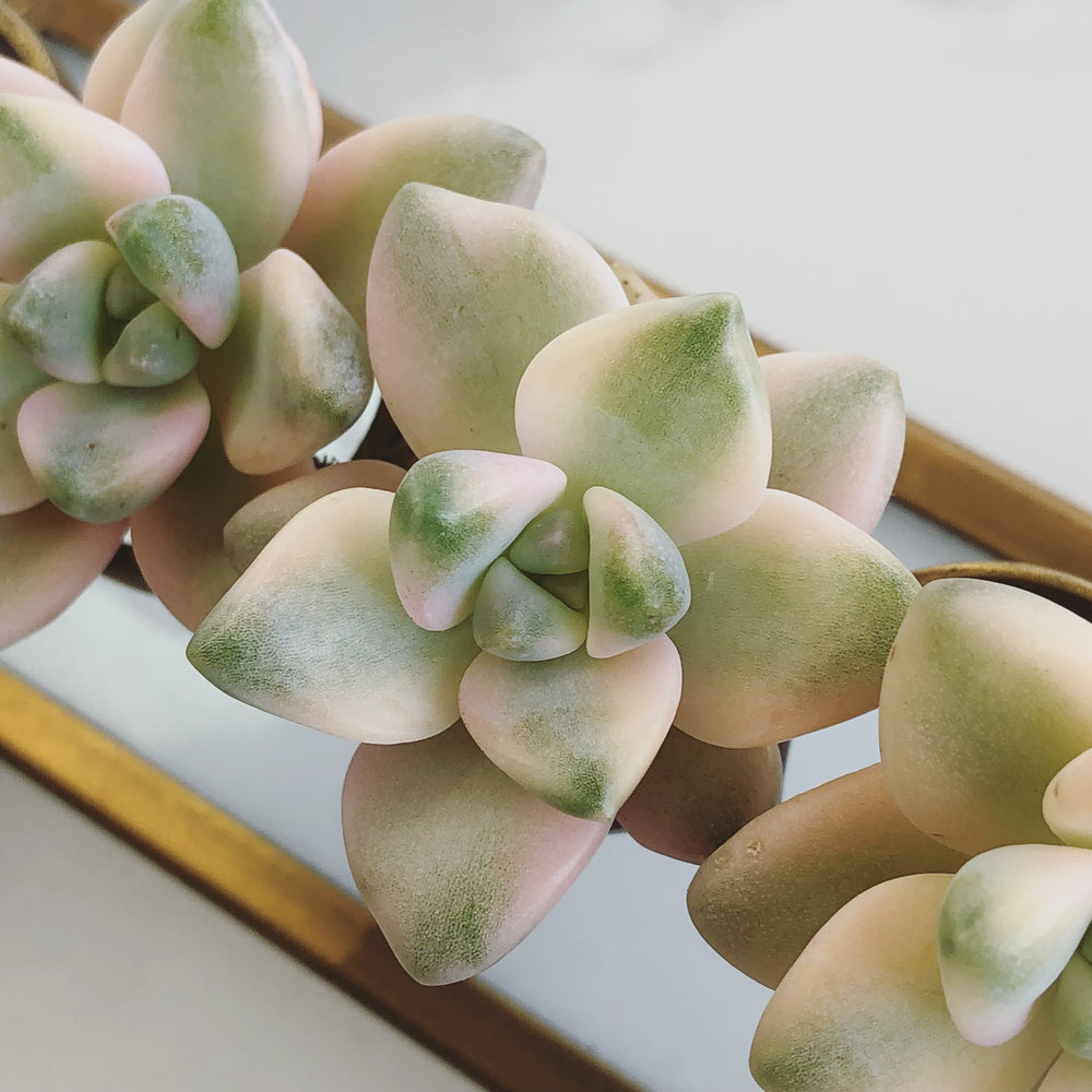 Graptoveria Titubans, Variegata (Single)