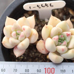 PRESALE Echeveria 'Melody' Sp