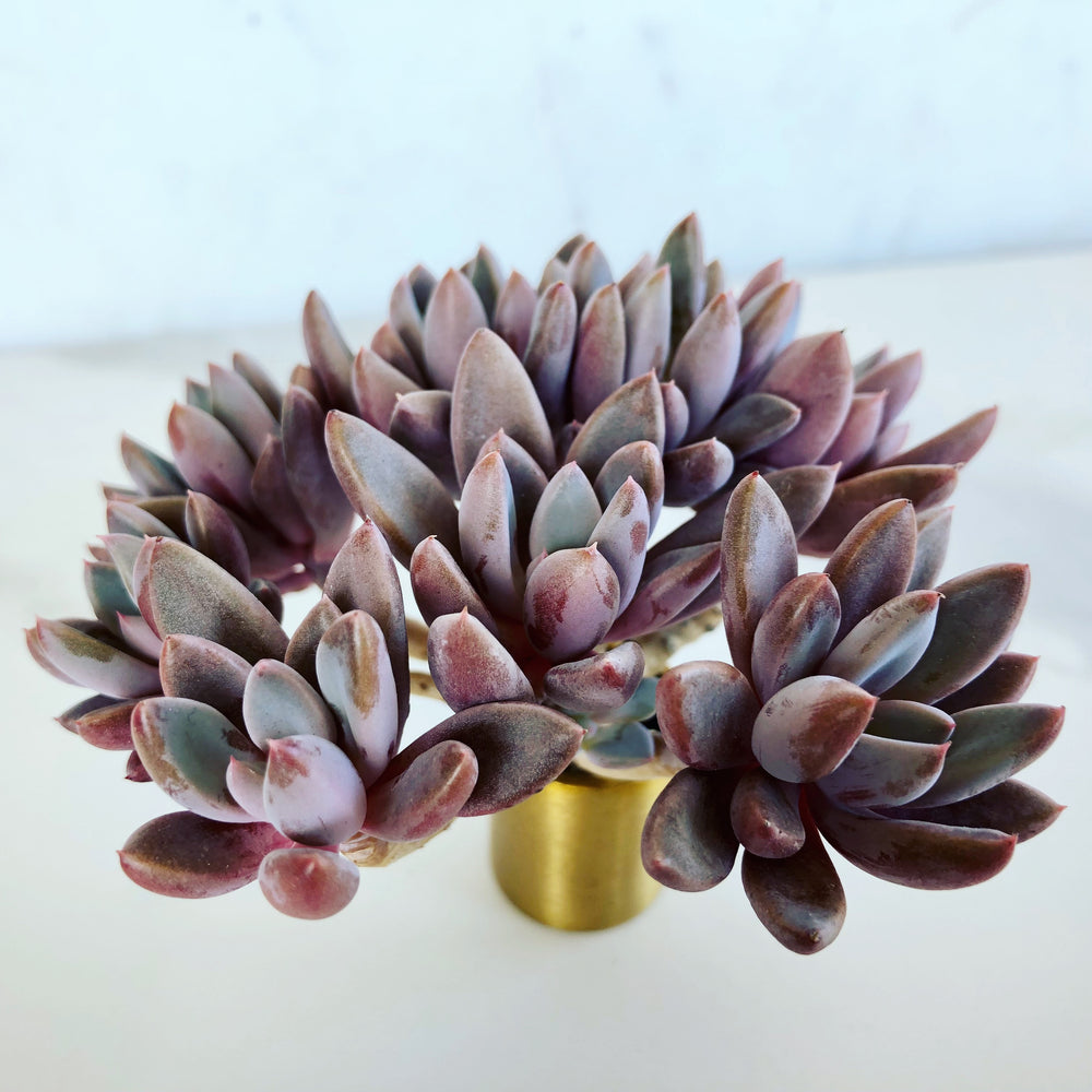 Echeveria Sugar Jelly