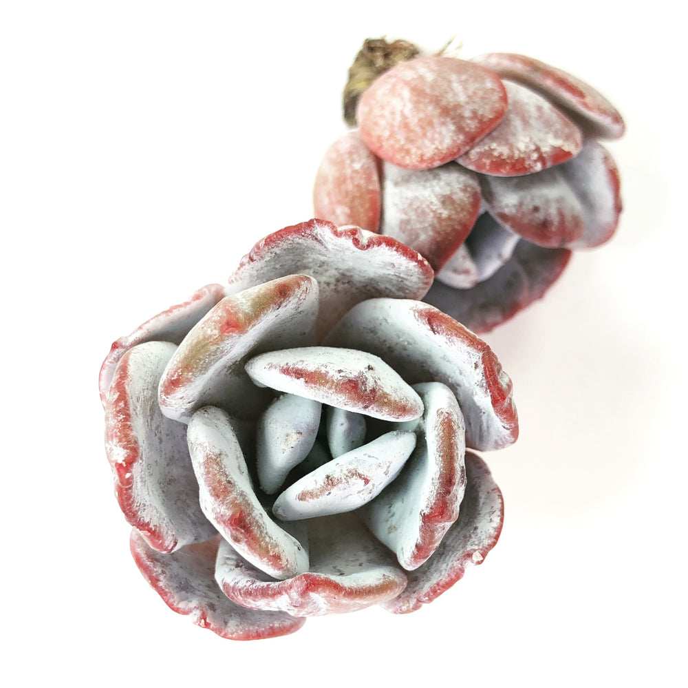 Echeveria Lauii (Hybrid?), Single Head
