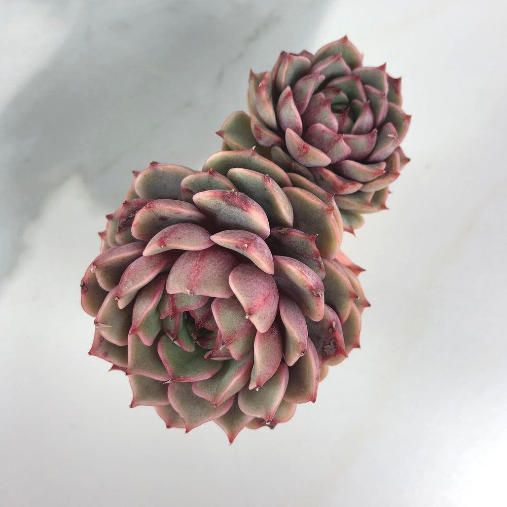 Echeveria Ben Badis, (Double)