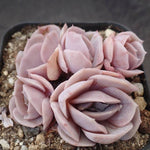 Echeveria Blue Surprise Clusters, (Random)