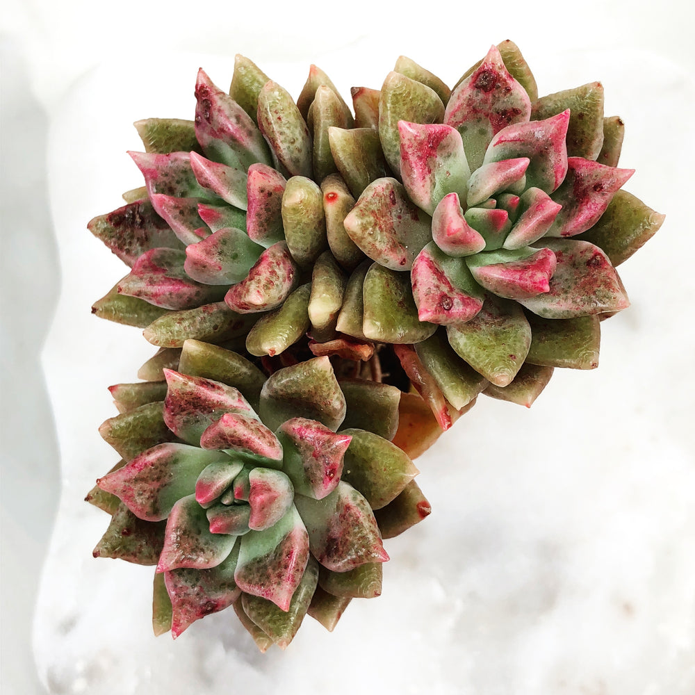 Echeveria Melody Sp., (Triple)