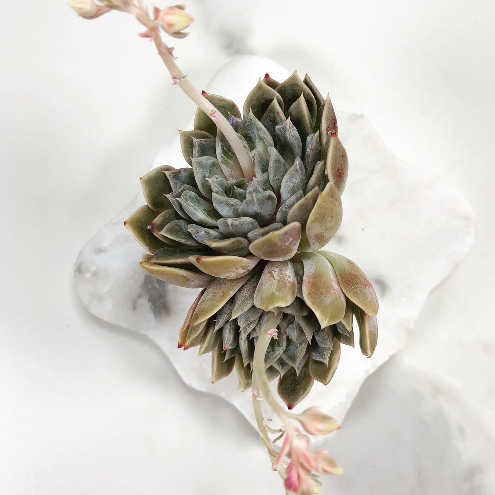 Echeveria 'Mary Bell' (Double)