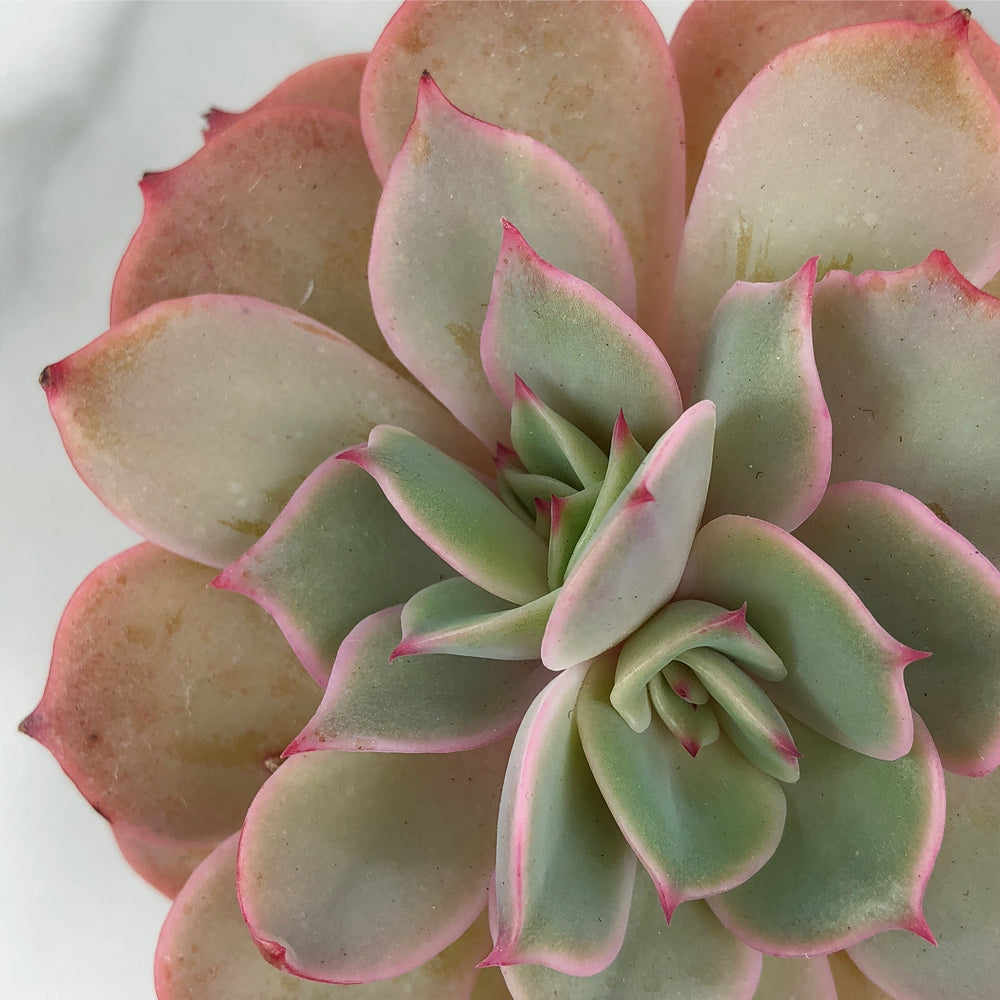 Echeveria White Snow
