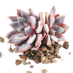 FLASH SALE! PRESALE Echeveria Lulu- CLUSTERS! (Random)