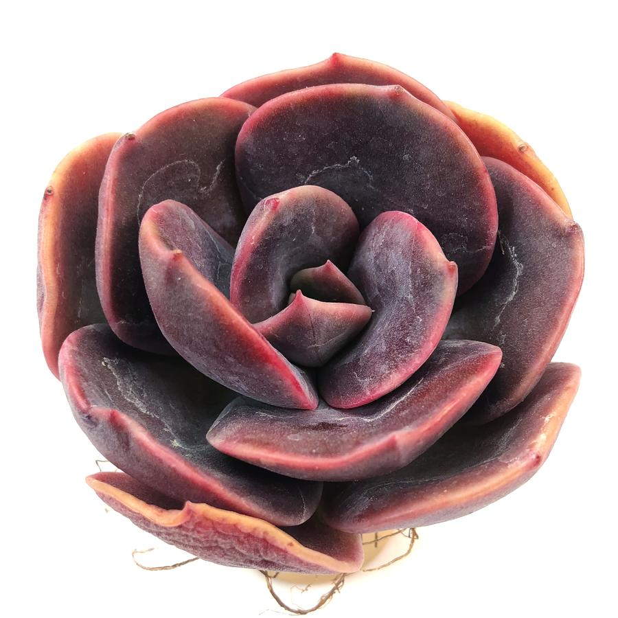 Echeveria Blue Metal, (Random)