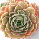Echeveria Onslow (Cluster)
