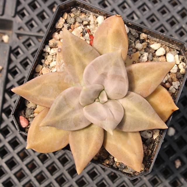 PRESALE Echeveria 'Shichuanishi,' (Not so Random)