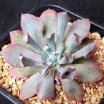 PRESALE Echeveria 'Trumpet' Pinky, (Not so Random)