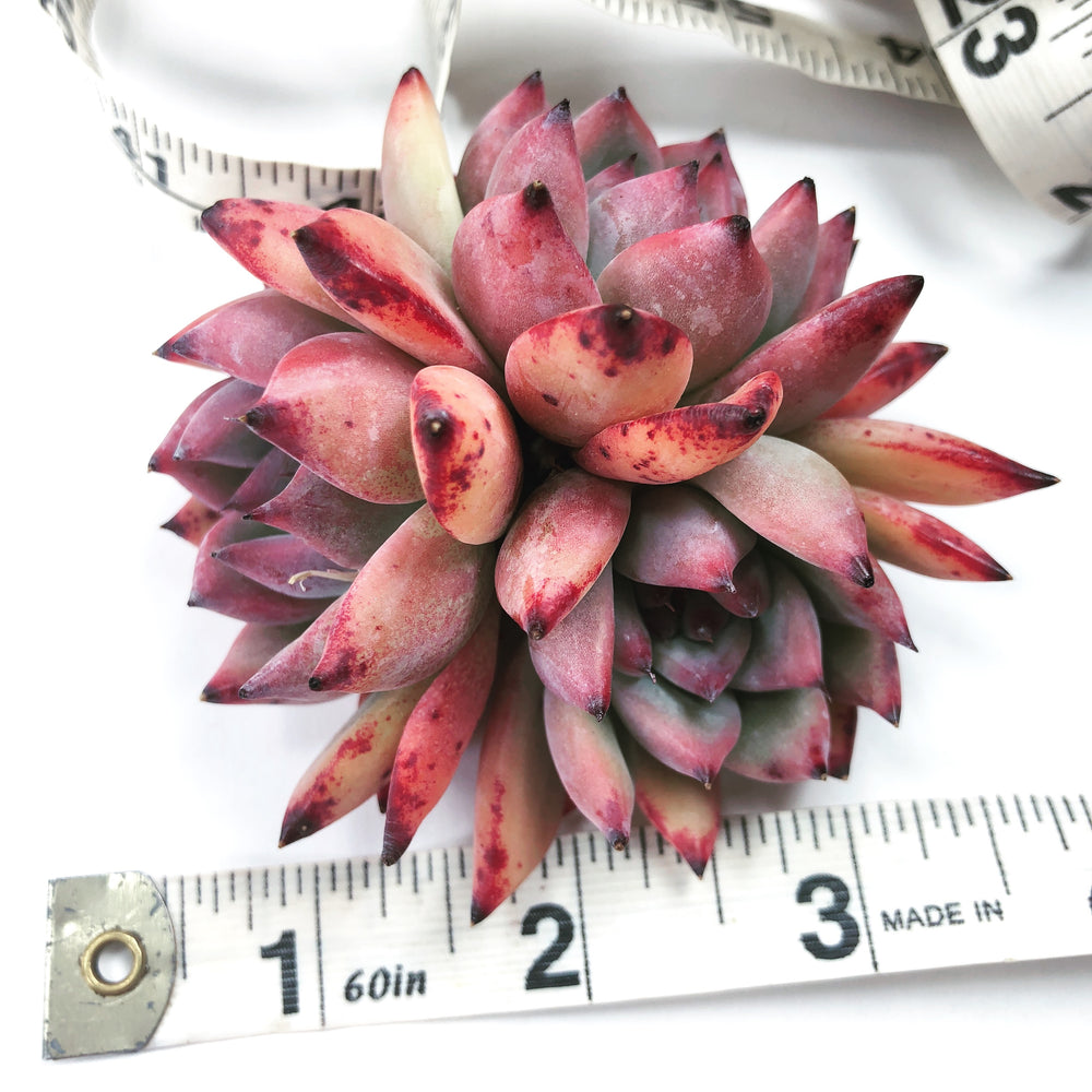 Echeveria Colorata Sp. (Triple)