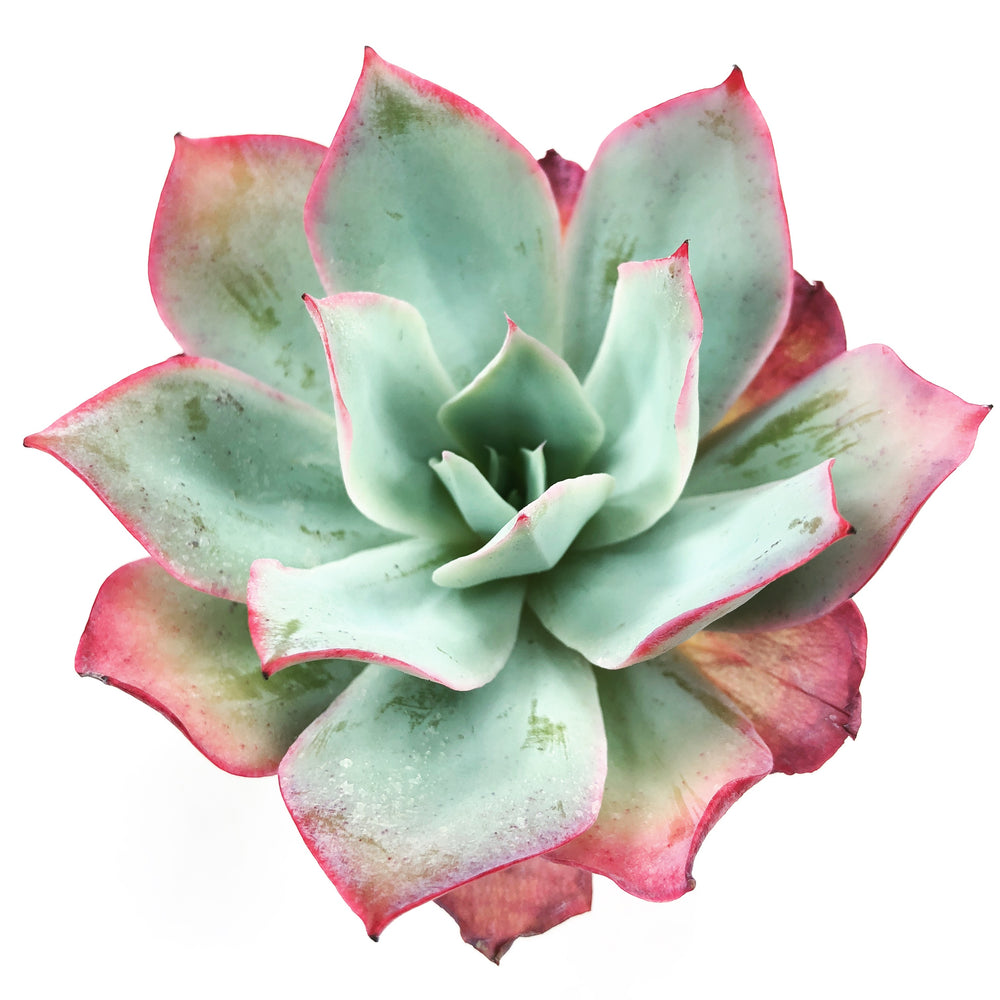Echeveria 'Blue Light'