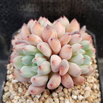 Echeveria Orange Sherbet Cluster, (Random)