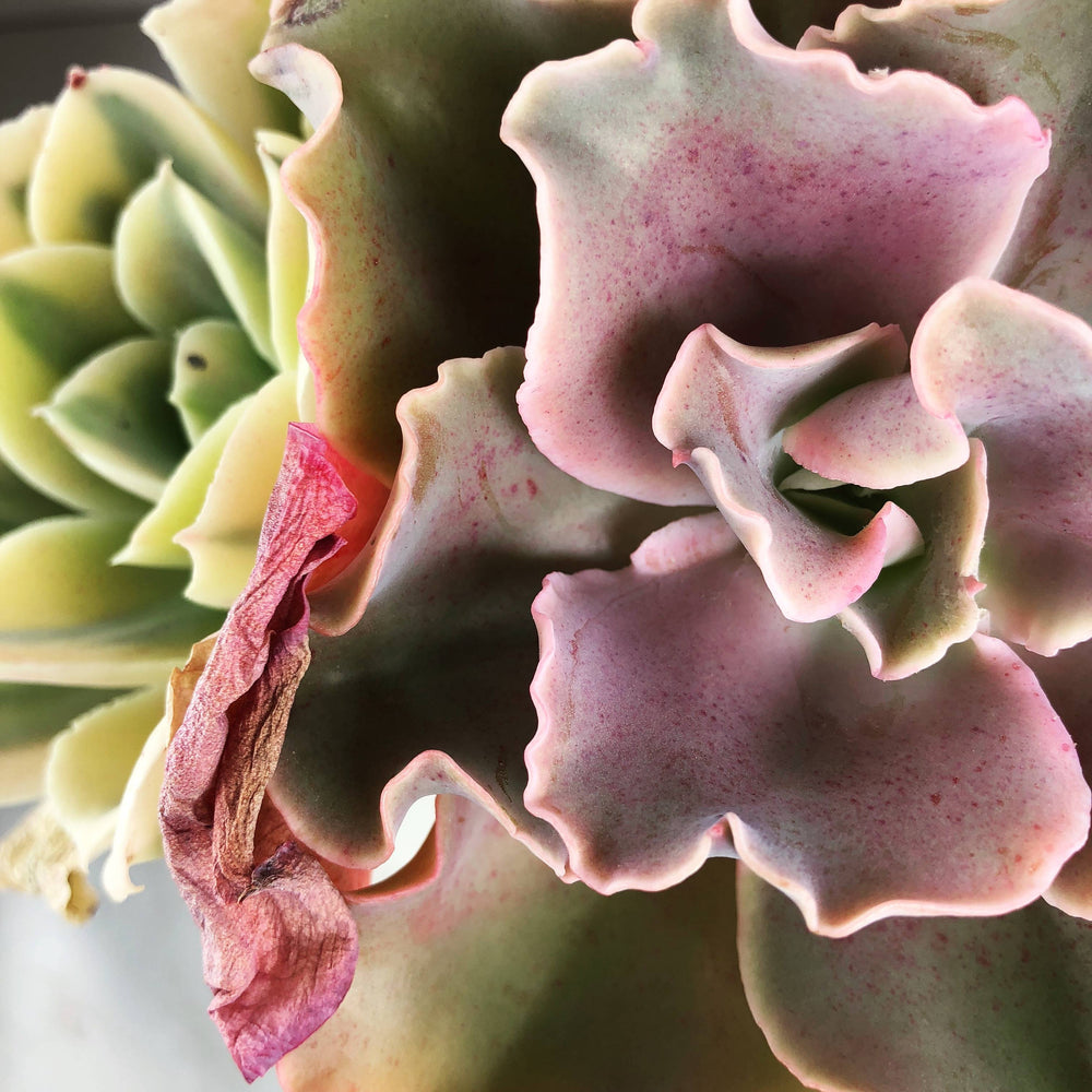 Echeveria Japan Moon River, (Triple)
