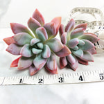 Graptoveria Opalina, (Imported, Double)